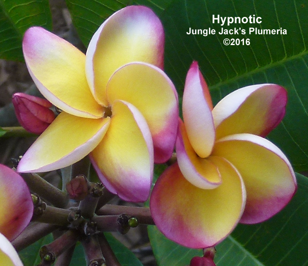 Hypnotic JJ (grafted with roots) Plumeria