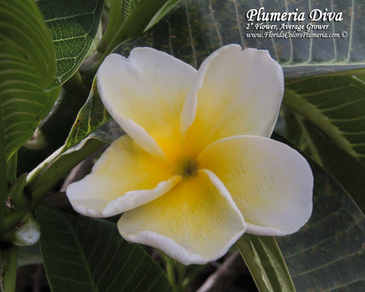 Plumeria Diva FCN  (rooted) Plumeria