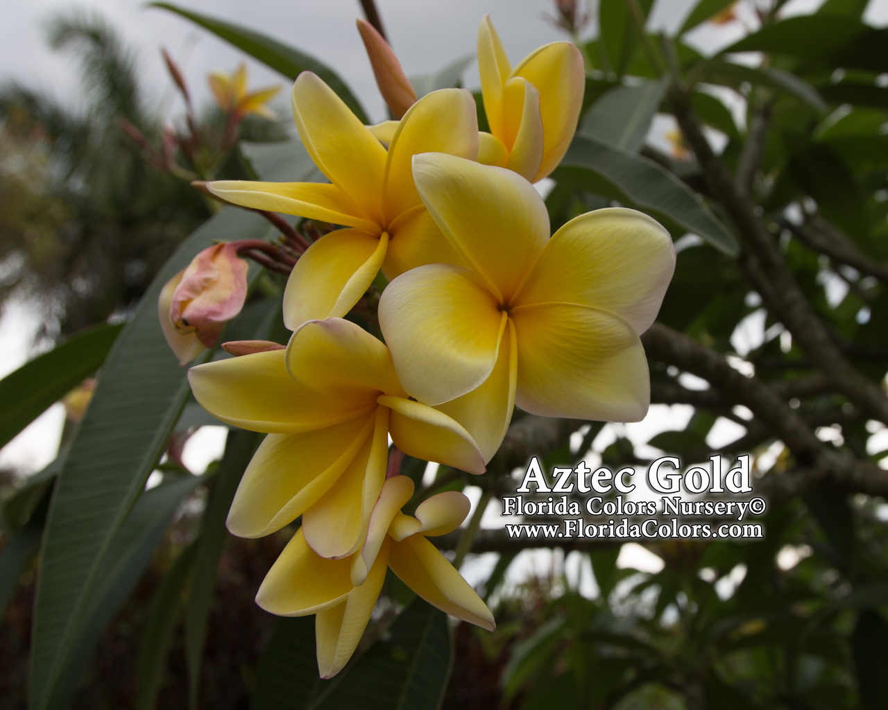 Aztec Gold (rooted) Plumeria