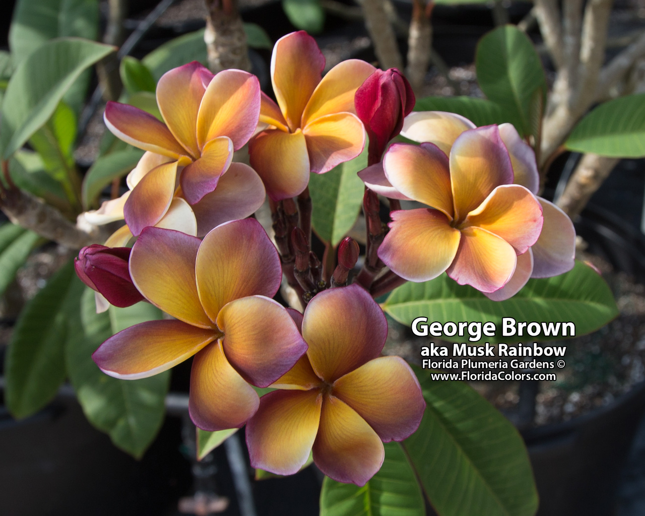 Musk Rainbow (grafted with roots) aka George Brown Plumeria Questions & Answers
