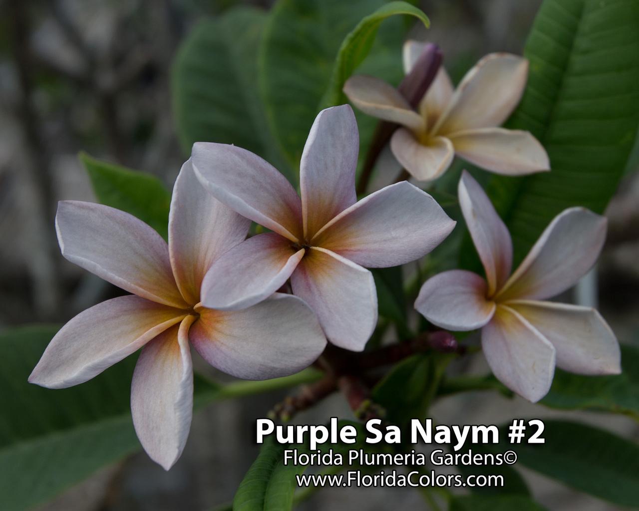 Purple Sa Neym (rooted)  aka Siam Lavender Plumeria Questions & Answers