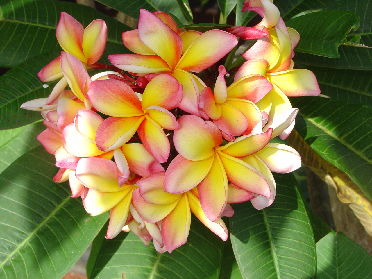 Availability of Confetti Plumeria
