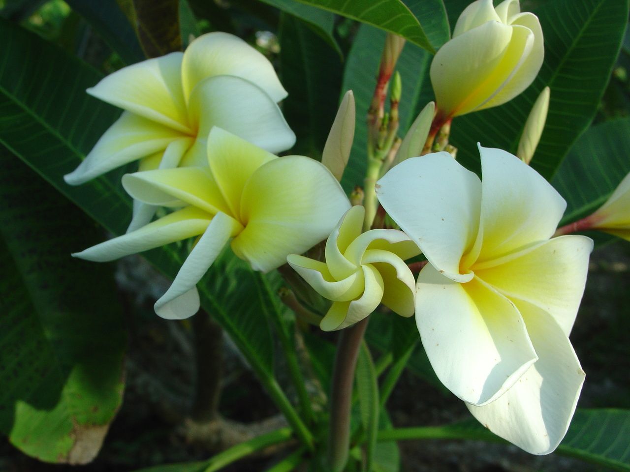 Naples Yellow FCN (rooted) Plumeria Questions & Answers