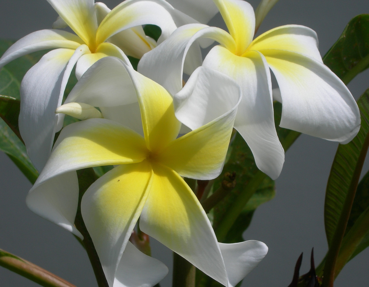 Ammaron's Curly White (rooted) plumeria